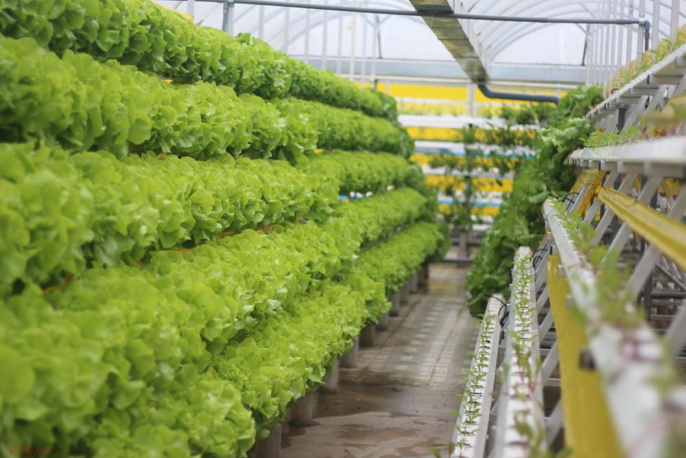 Nông trại nhỏ này đã cung ứng đủ một số loại rau củ quả sử dùng hàng ngày cho nhà bếp của khách sạn La Dalat.