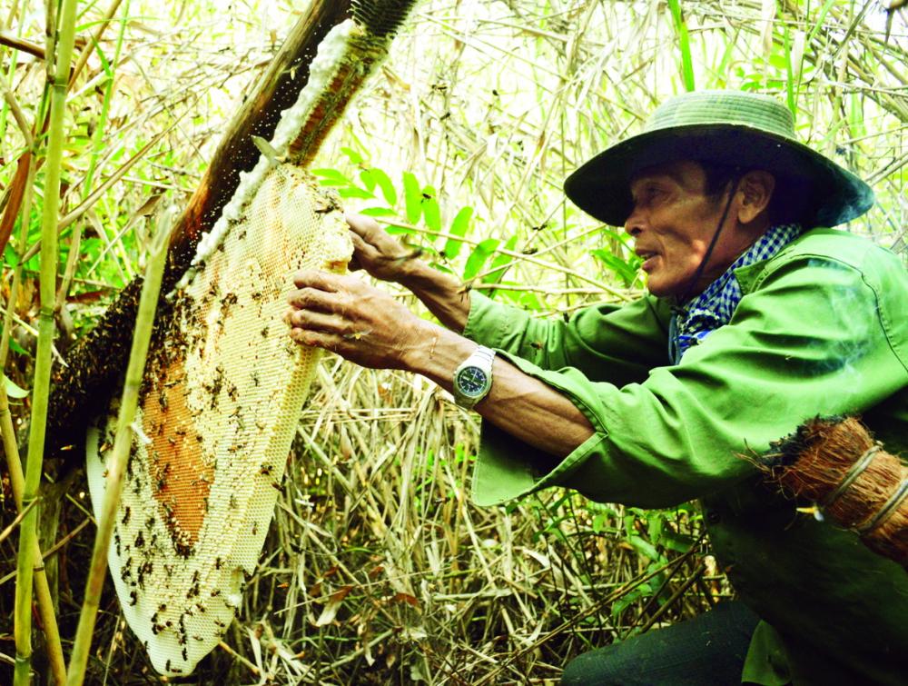 Thợ ăn ong lấy mật trong rừng U Minh