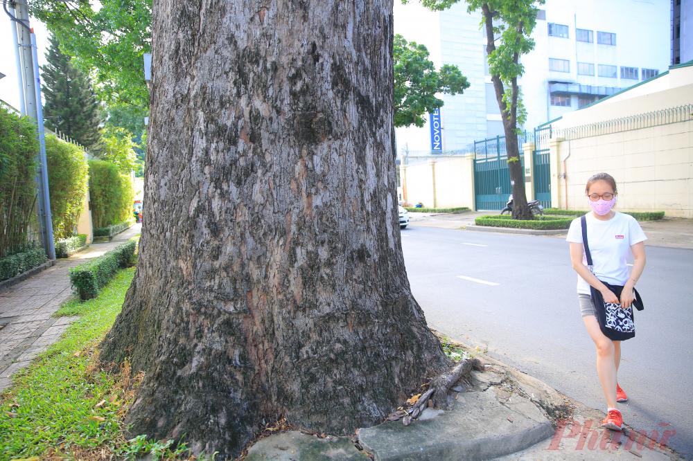 Gốc cây có kích thước 5-6 người ôm.