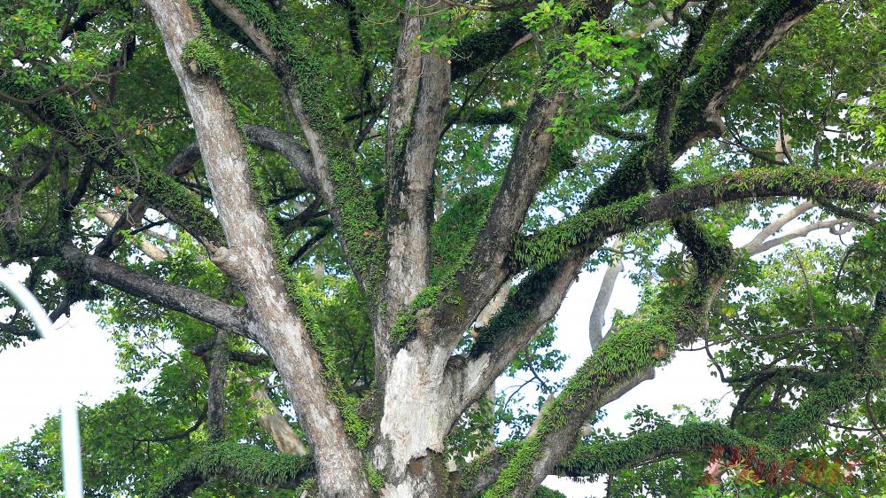 Cành cây tạo sự ấn tượng với lớp rêu phong và những cây tầm gửi sống bám.