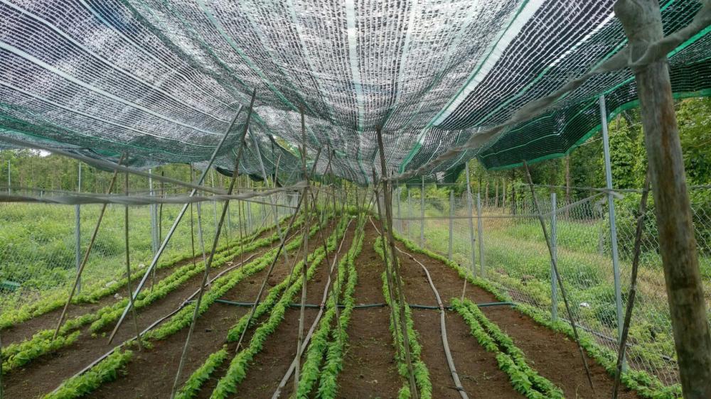 Nếu áp dụng quyết định 66 của UBND tỉnh Bà Rịa – Vũng Tàu thì hai hộ trồng sương sâm được đền bù hơn 3.3 tỷ đồng/3.656,2m2.