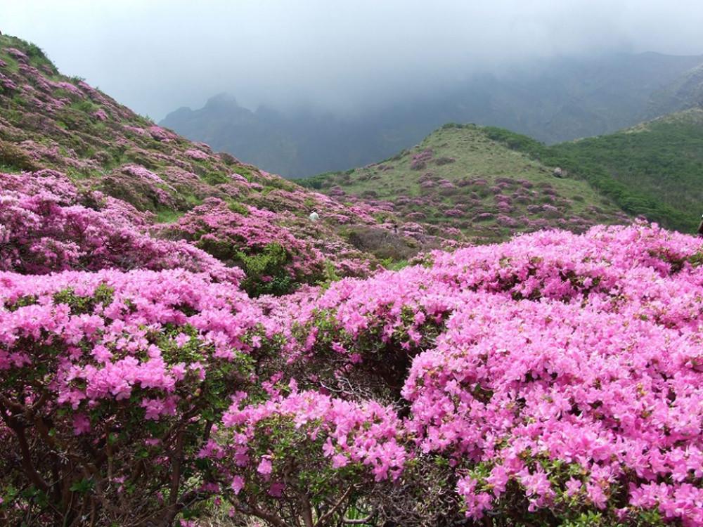 Hoa đỗ quyên nở rộ trên dãy Himalaya.