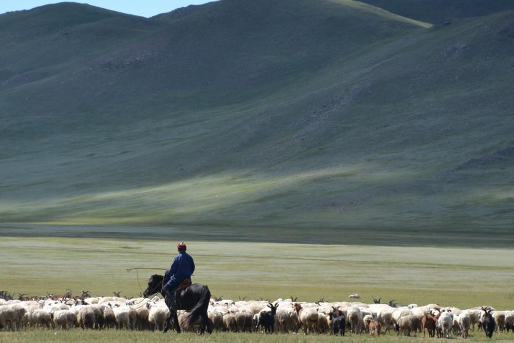 Một người chăn gia súc làm việc giữa thảo nguyên Mông Cổ.
