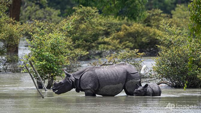 Tê giác lội qua vùng ngập lụt ở khu bảo tồn động vật hoang dã Pobitora ở Pobitora, quận Morigaon, Assam, Ấn Độ