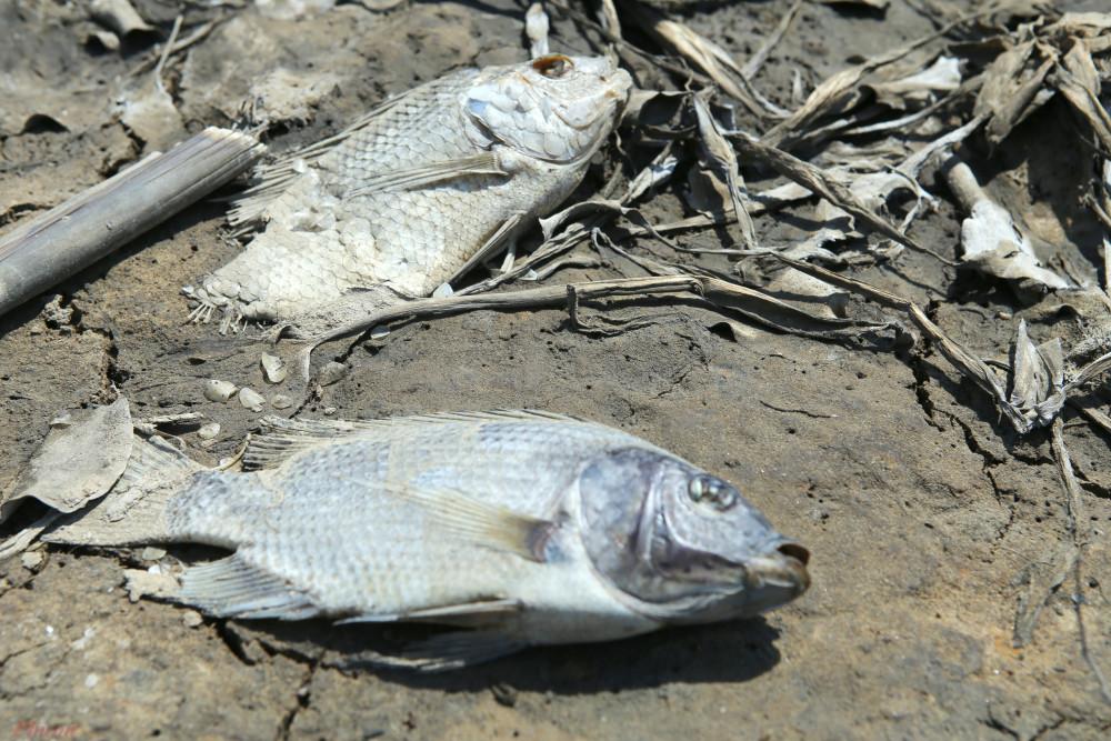 Cá chếtdạt trắng hai bên sông Cấm do nắng nóng