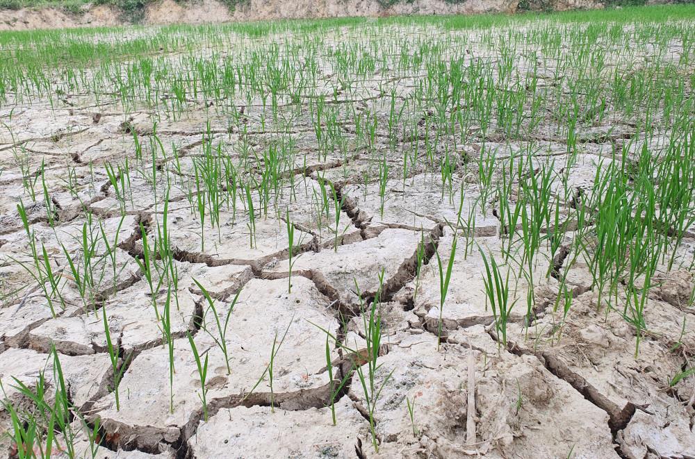 Hàng ngàn ha lúa đang có nguy cơ chết nếu tình trạng hạn hán vẫn kéo dài