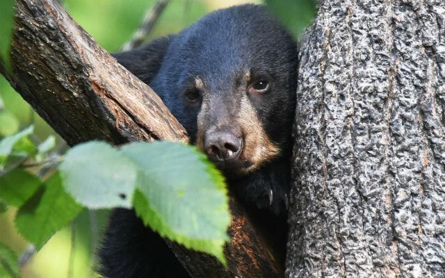 Dù số lượng cá thể gấu đen tại Nhật Bản đã suy giảm nghiêm trọng, những vụ gấu xuất hiện tại khu dân cư vẫn thường xuyên xảy ra.