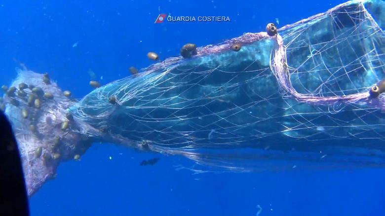Phần đuôi của con cá bị quấn chặt bởi nhiều lớp lưới. Khi lực lượng cứu hộ tiếp cận, con cá có vẻ bị kích động do cơ thể bị siết chặt.