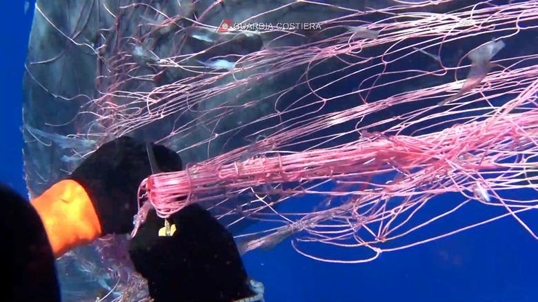 Đây là lần thứ hai trong vòng chưa đầy một tháng, lực lượng bảo vệ bờ biển Ý giải cứu cá nhà táng bị mắc lưới.