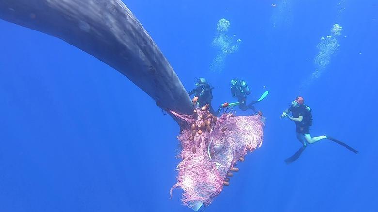 Lực lượng bảo vệ bờ biển Ý đã làm việc trong nhiều ngày liền để giải thoát một con cá nhà táng khổng lồ bị mắc vào lưới đánh cá trên vùng biển thuộc quần đảo Eoline, miền nam nước Ý.