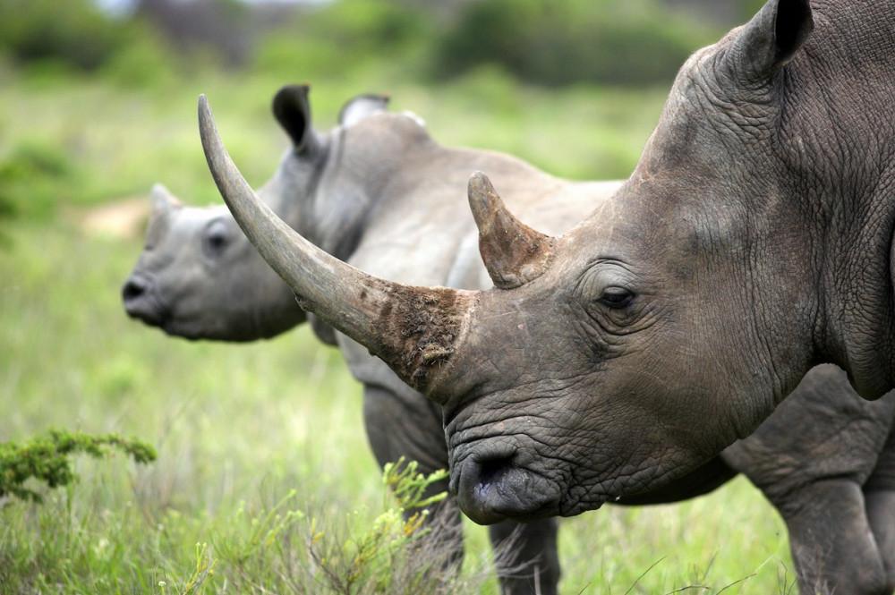 Ngành du lịch trì trệ cũng kéo theo lo ngại ảnh hưởng đến động vật hoang dã, trong đó có tê giác