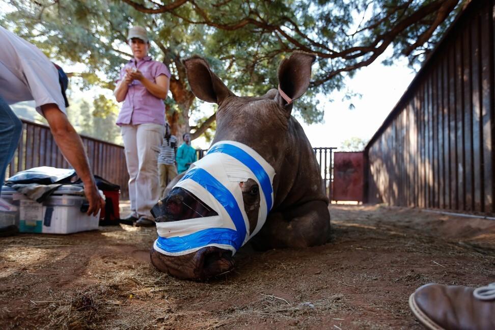 Một con tê giác được chữa trị tại Nam Phi năm 2016 sau khi bị cưa sừng