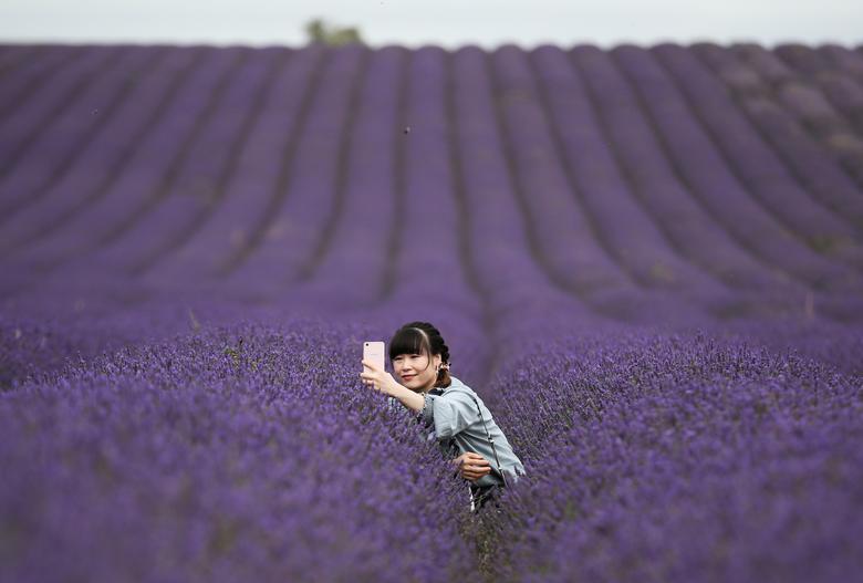 Đồng hoa lavender ở trang trại lavender Hitchin ở ngôi làng Ickleford (nằm ở ngoại ô phía bắc của Hitchin ở Bắc Hertfordshire