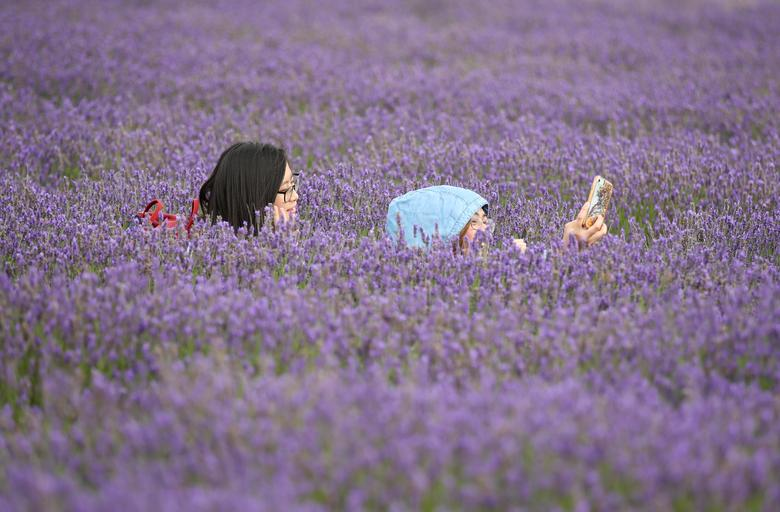 Những hàng hoa oải hương ở đây có tổng chiều dài lên đến 35 dặm Anh (khoảng 56 km). Du khách có thể đi bộ đến mỏi chân. Hằng năm, cánh đồng hoa thu hút nhiều người tham quan khi đến mùa, nhưng năm nay do tác động của dịch bệnh COVID-19 nên số lượng không nhiều.