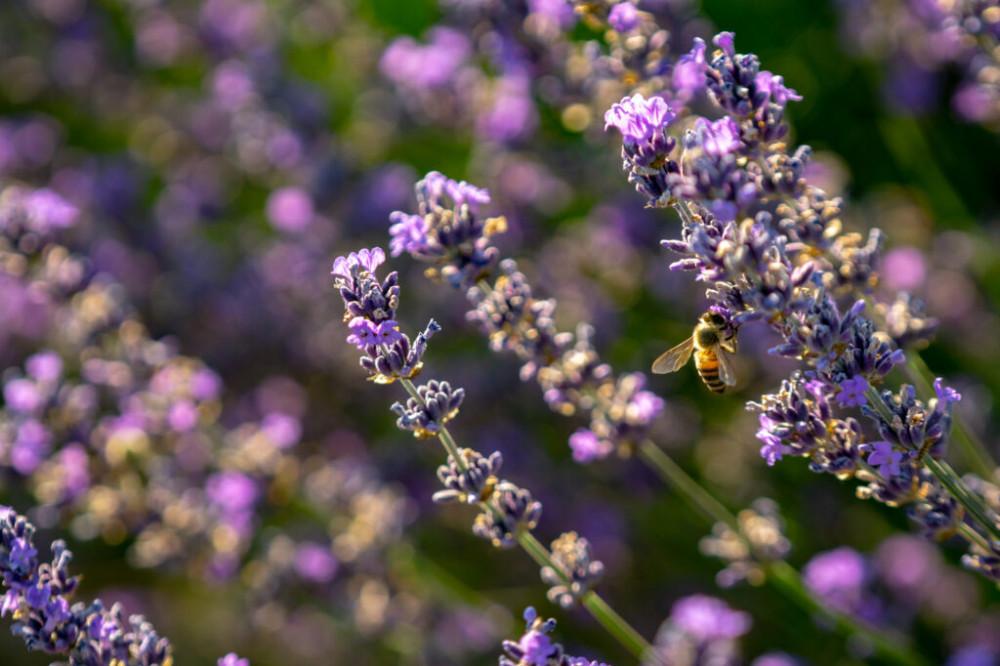 Ngoài mùi thơm, oải hương còn có dược tính tốt, thường được sử dụng để trị đau đầu, suy nhược, cảm nắng.