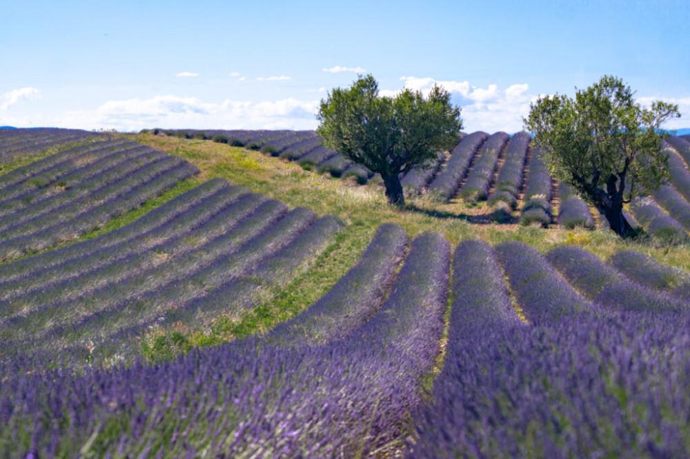 Những luống hoa uốn lượn theo các ngọn đồi mang đến bức tranh thiên nhiên tuyệt đẹp o83 Provence.