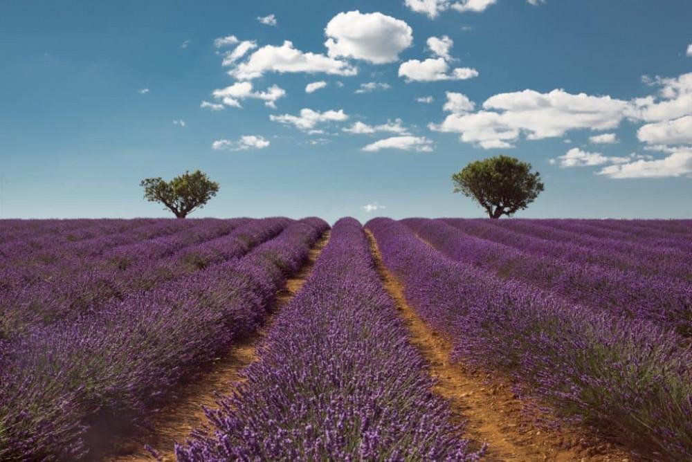 Những cánh đồng hoa tím ngắt, thơm lừng cộng với khung cảnh thơ mộng của nước Pháp dễ khiến người xem nao lòng khó quên.