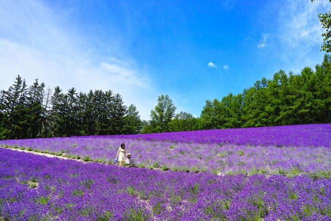 Oải hương có nguồn gốc từ Địa Trung Hải, nhưng sau được trồng nhiều ở châu Âu. Ngay cả vùng Hokkaido của Nhật Bản cũng trồng thành công loạ hoa này.