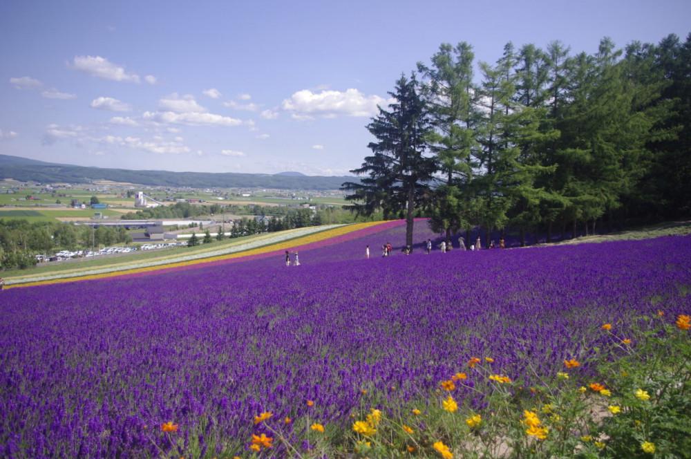 Oải hương cũng được trồng xen vớ nhiều loại hoa khác tạo nên những dải màu sắc bắt mắt ở vùng Hokkaido Nhật Bản.