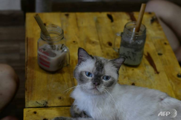 Một chú mèo Anh lông ngắn được cưu mang ở quán