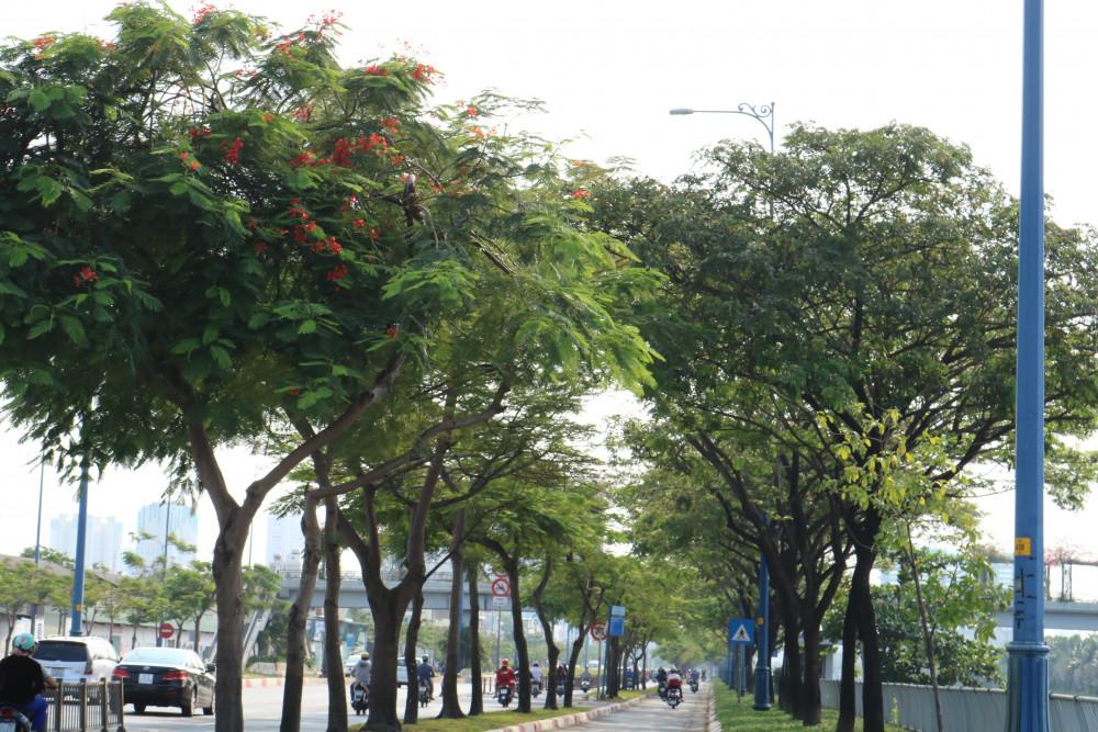 Hàng cây xanh um trên đại lộ Võ Văn Kiệt, ven kênh Tàu Hũ. Ảnh- T.Q