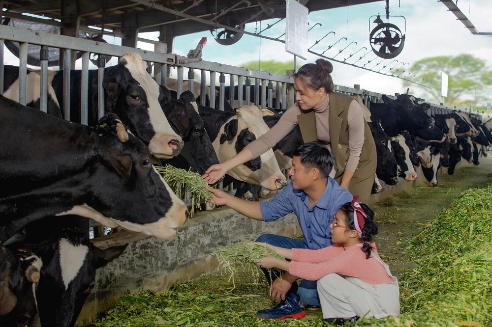 Đàn bò của Cô Gái Hà Lan được chăn nuôi và chăm sóc cẩn thận cho chất lượng sữa tốt nhất. Ảnh: CGHL