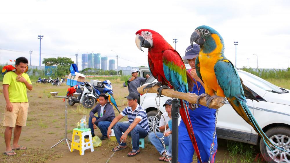 Những nhóm chơi chim ngoại nhập ở TPHCM đa phần thích nuôi vẹt Nam Mỹ vì chúng có bộ lông đẹp lại dễ thuần hóa