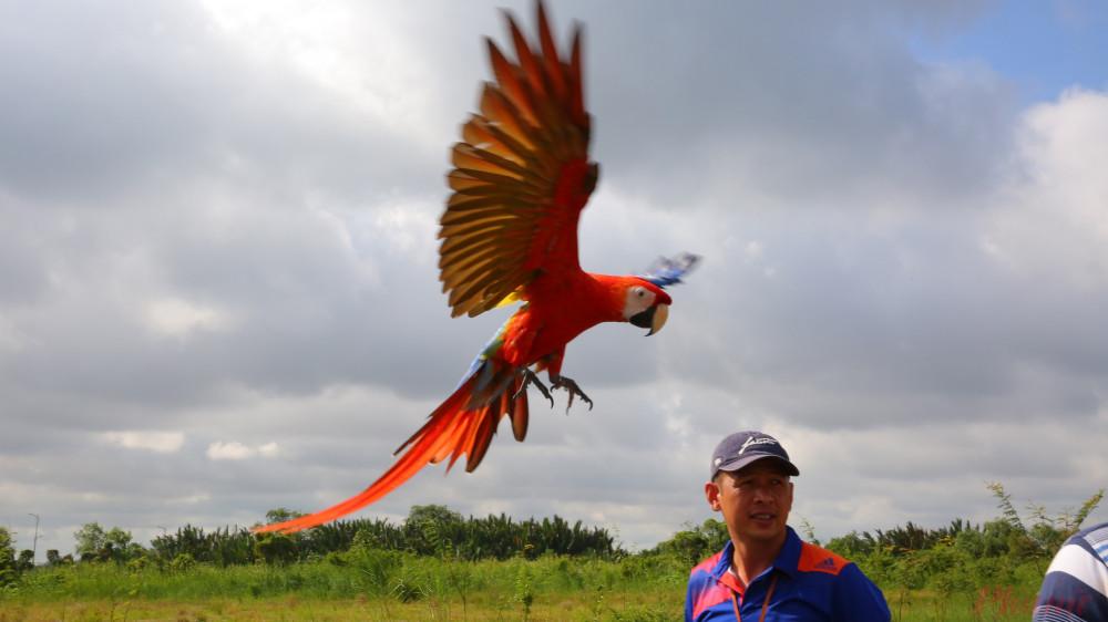 Mỗi chủ chim đều một cái còi để kêu nếu chim bay quá xa nơi mình đứng.