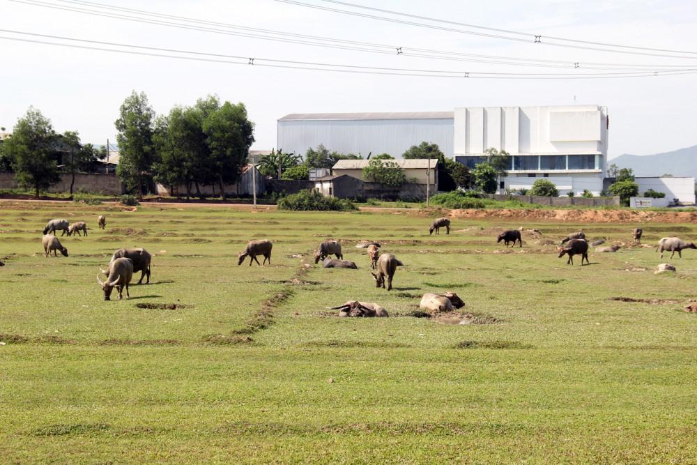 Những cánh đồng lúa mênh mông bị bỏ hoang ở huyện lúa Yên Thành