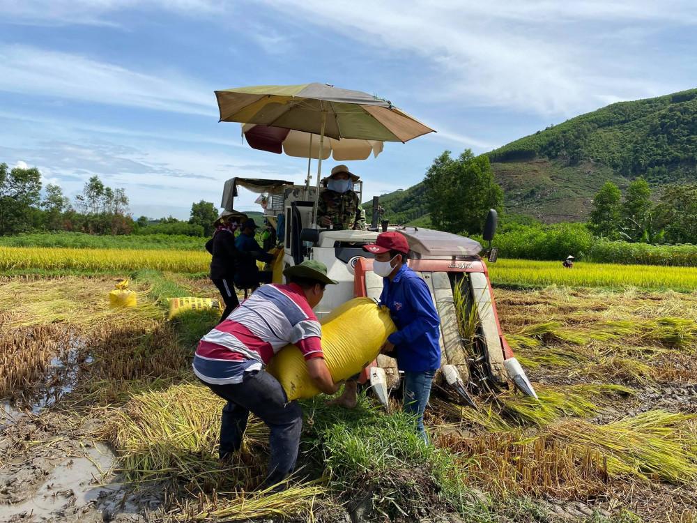 Các lực lượng ở xã Nghĩa Sơn cắt lúa giúp nhà ông Nhậu