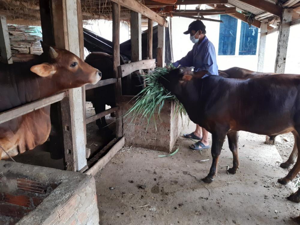 Ông Việt đang cho bò ăn