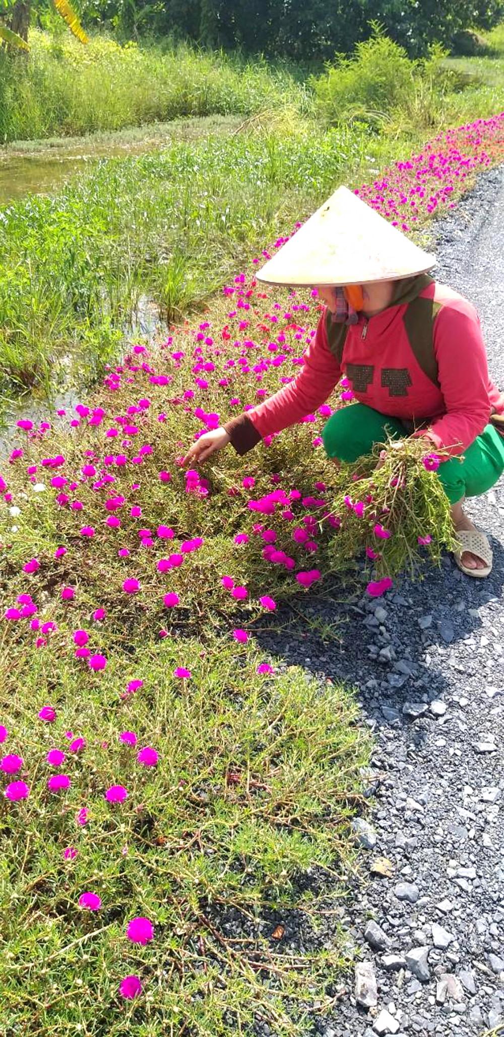 Ngày xưa, mùa mưa, muốn vô nhà phải băng qua sình lầy, giờ thì chạy băng trên đường rực rỡ sắc hoa…