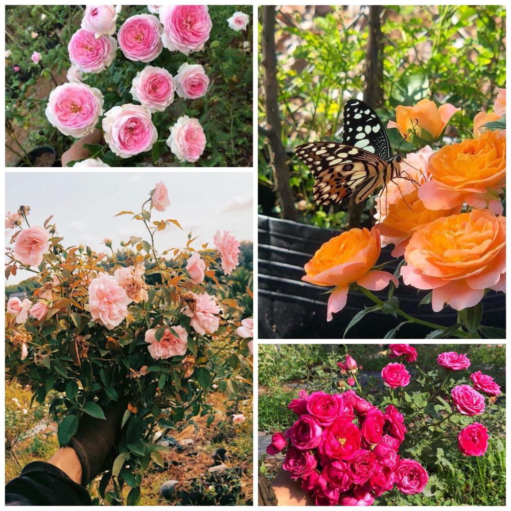 Hoa hồng không chỉ mang đến nguồn  thu nhập mà còn mang lại cảm giác yên bình mỗi ngày cho chàng trai trẻ (Ảnh nhân vật cung cấp)
