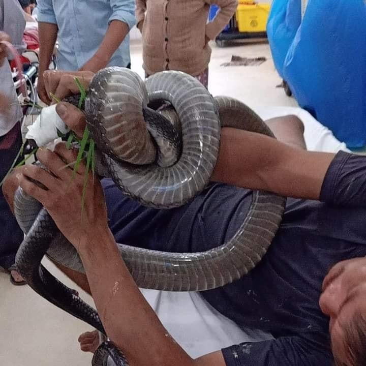 Cố đuổi bắt rắn hổ mang, anh V.T. bị rắn cắn