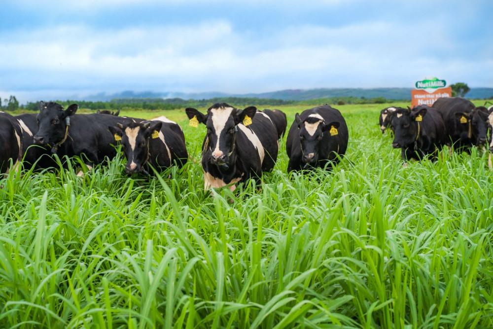 Những cô bò dạo chơi trên đồng cỏ