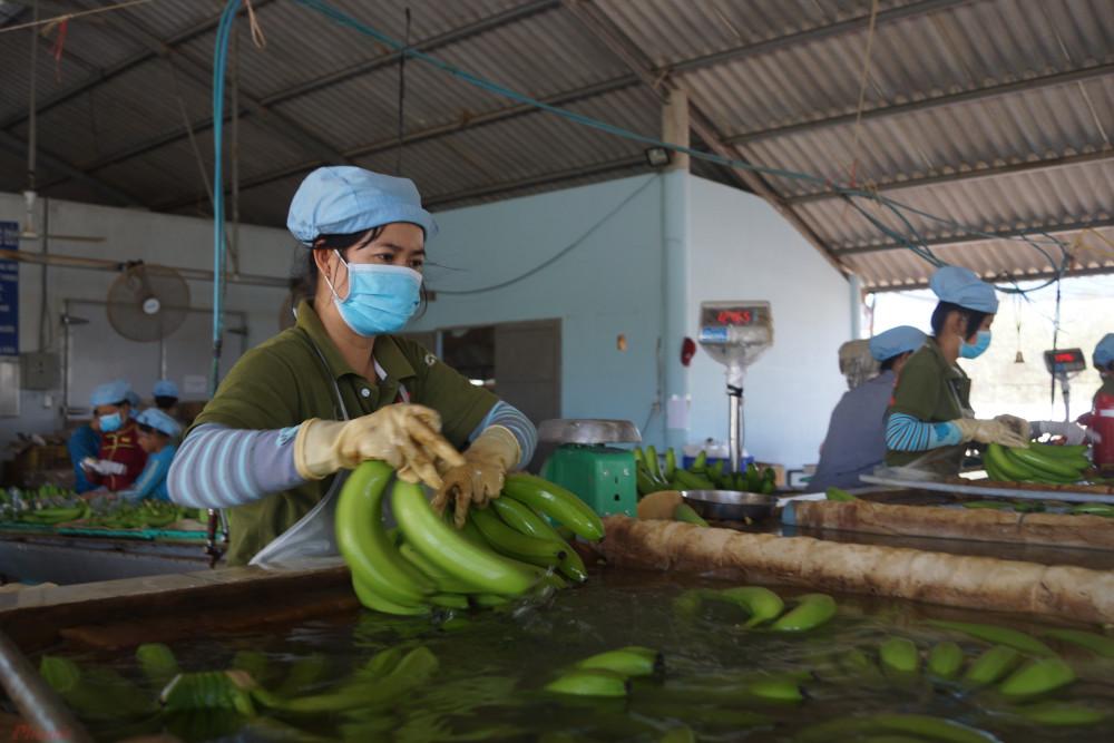 Mặc dù giảm nhưng trái cây vẫn là chủng loại xuất khẩu chính nửa đầu năm đạt 1,2 tỷ USD, giảm 22,9% so với cùng kỳ 2019.