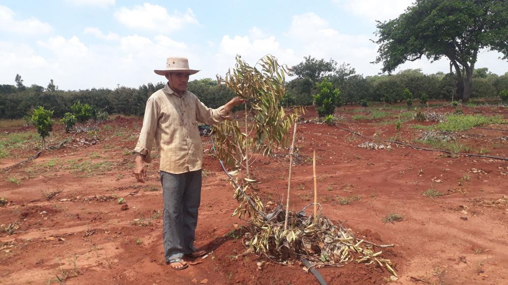 Hàng trăm cây ăn quả trông trên rẫy 2ha của gia đình ông Sơn ở xã Bình Châu bị chặt phá - Ảnh: Quang Long