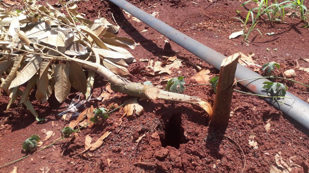 Hàng trăm cây ăn quả hơn 1 năm tuổi của đôi vợ chồng ở huyện Xuyên Mộc bị chặt phá thiệt hại hàng trăm triệu đồng...Ảnh: Quang Long