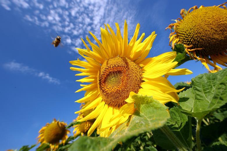 Những bông hoa vàng rực in lên nền trời xanh tạo nên những bức tranh đẹp mắt. Hạt hướng dương sau khi thu hoạch có thể dùng sấy để ăn sống hoặc điều chế thành dầu.