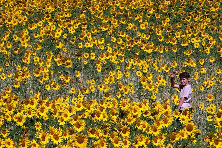 Một cậu bé đang dạo chơi trên cánh đồng hoa ở Chorleywood. Hướng dương từ khi trồng đến trổ hoa mất từ hơn 2-3 tháng.