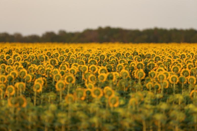Đồng hoa hướng dương ở gần Beausejour, Manitoba, Canada nở rộ vào tuần thứ ba của tháng 8. Đây là một trong ba tỉnh trung tâm của Canada, rất thuận tiện cho việc di chuyển.