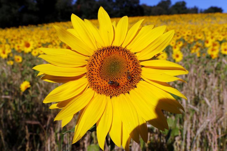 Hướng dương có nguồn gốc từ Bắc Mỹ, thường sống được khoảng 1 năm. Cây cao trung bình 1-3 mét. Hoa thường trổ vào mùa đông và mùa xuân. Nhưng tại châu Âu, hoa nở trong khoảng từ tháng 6 đến tháng 9.