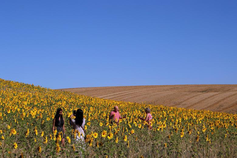 Chorleywood, một khu vực khác của nước Anh cũng nổi tiếng với đồng hoa hướng dương vàng rực, là địa điểm tham qua nổi tiếng. Hiện tại, chính phủ Anh đã cho phép người dân di chuyển nên một số du khách đã tìm đến các đồng hoa để tham quan, chụp ảnh.