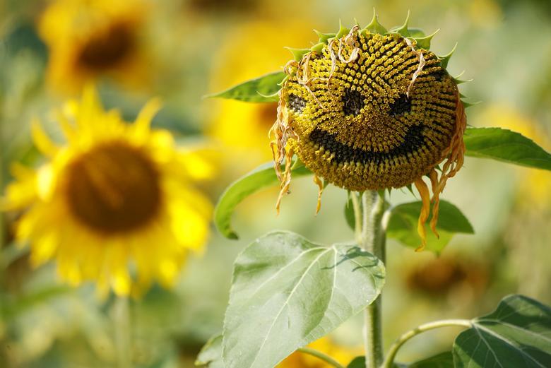 Một bông hoa hướng dương được khắc hình mặt cười trên cánh đồng hoa ở Dunham Massey, Anh. Hoa hướng dương từ lúc nở đến khi tàn kéo dài khoảng 2 tuần.