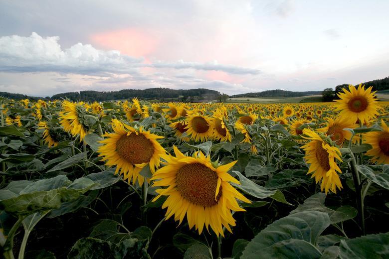 Những bông hoa tượng trưng cho mặt trời khoe sắc ở vùng núi gần Leuggern, Thuỵ sĩ.