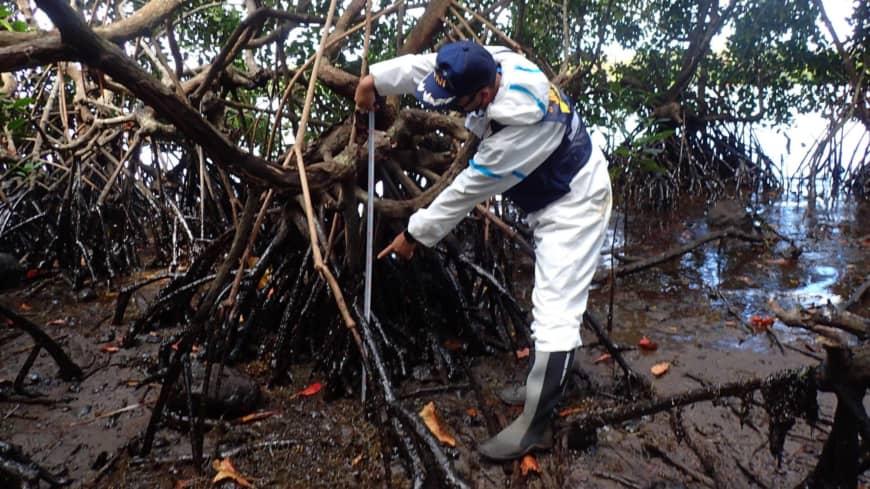 Dầu tràn bám chặt vào rễ của nhiều loài cây ở rừng ngập mặn