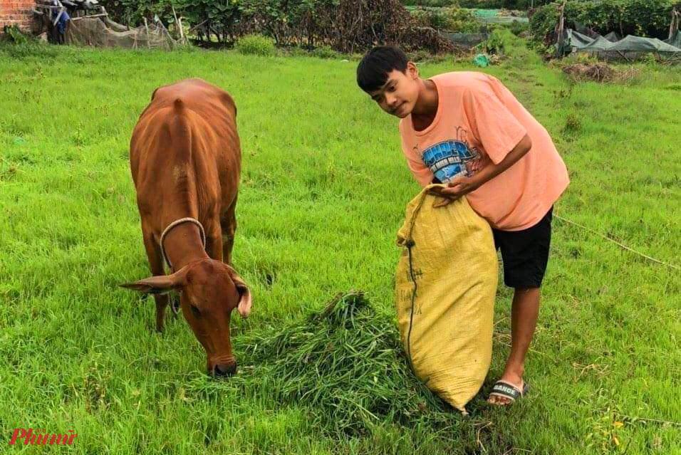 Ngoài giờ hcọ Tài giúp bố mẹ cắt cỏ cho bò ăn
