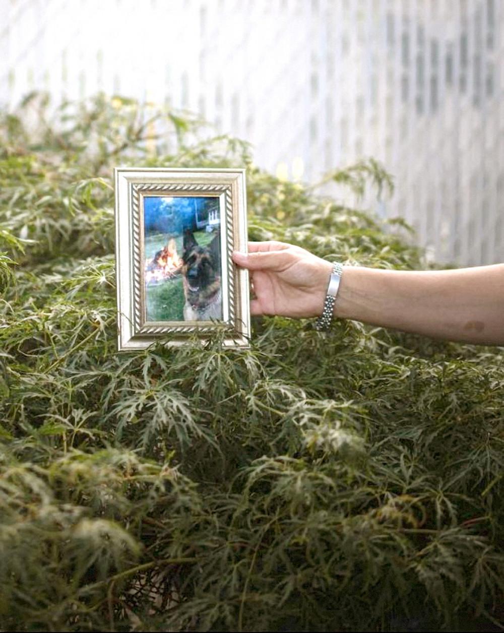 """Allison Mahoney cho xem """"di ảnh"""" chụp Buddy - chú chó chăn cừu giống Đức 7 tuổi dương tính với COVID-19 - tại nhà cô ở Staten Island, New York, Mỹ - Ảnh: Kholood Eid"""