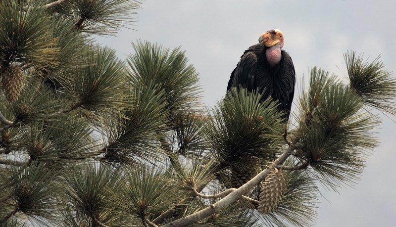 Một chú kền kền California đang đậu trên đỉnh một cây thông tại Rừng quốc gia Los Padres, California. Ảnh: AP
