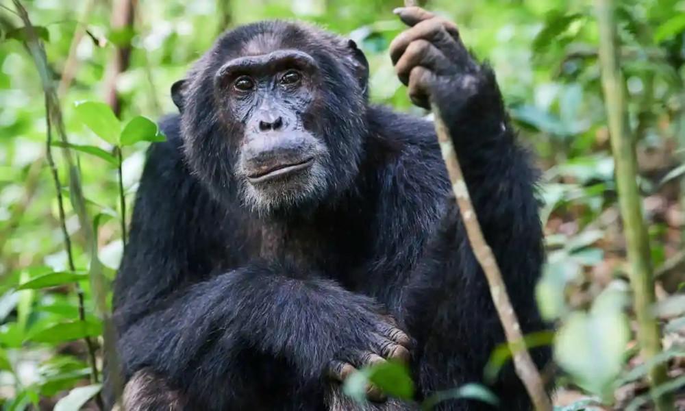 HIV lây lan từ tinh tinh và khỉ đột bị giết thịt ở Tây Phi